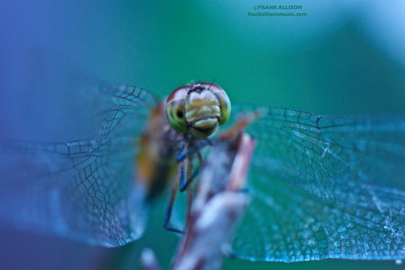 Photo of Dragonfly by Frank Allison