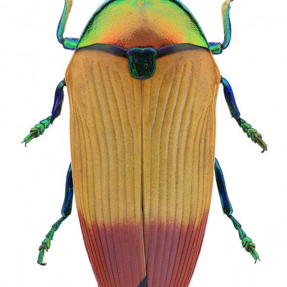 Small Wonders: Insects in Focus - insect photos - Photo of Metallic Wood Boring Beetle
